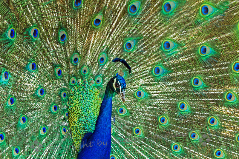 Peacock Show Off