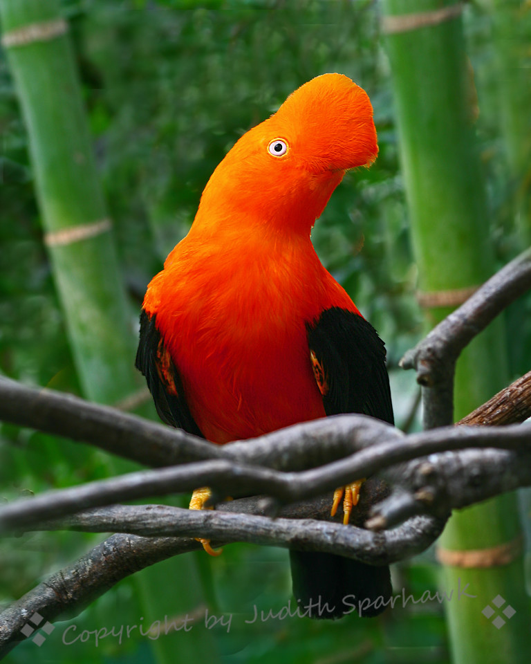 Cock of the Rock, Male