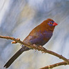 Blue-cheeked Waxbill
