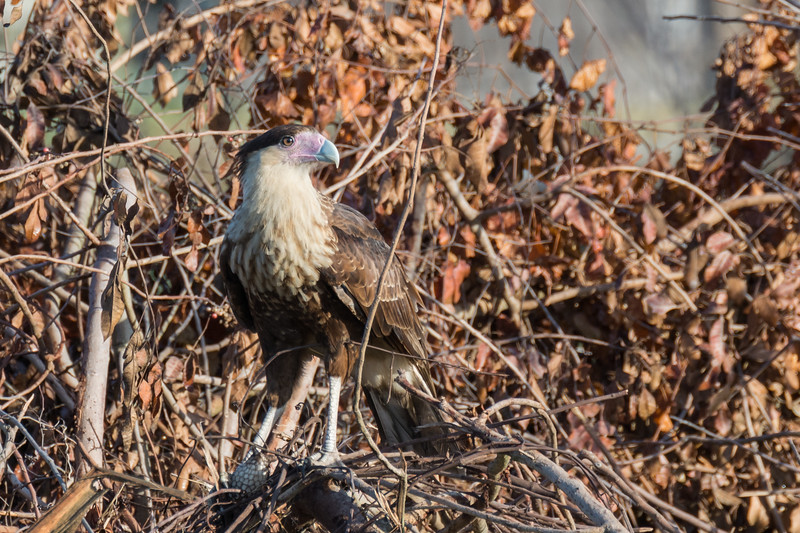 Crested Caracara (youngster)