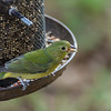 Painted Bunting (female, or immature male)