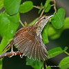 I was luck to catch this flight shot that came out in good focus - Carolina Wren