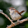 Carolina Wren - Boone County- one of at least two frequenting my yard.