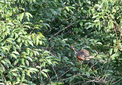 Hoatzin leaving