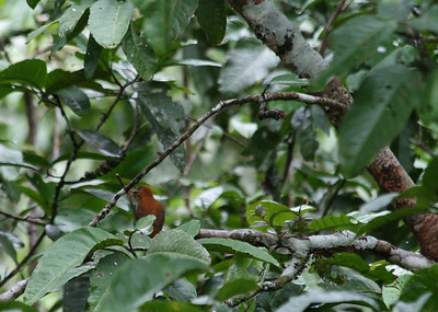 Birds of Peru 2011