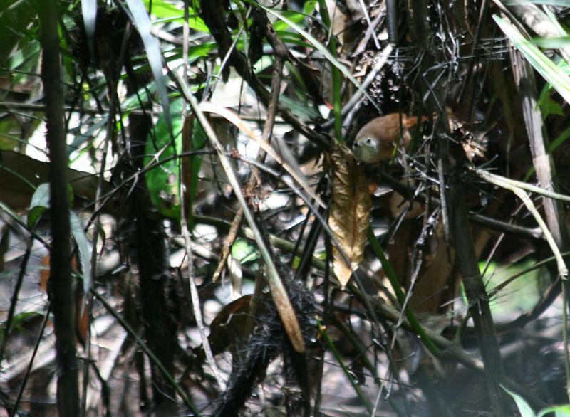 Buff-Breasted Wren