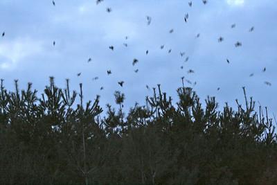 Black Bird Invasion