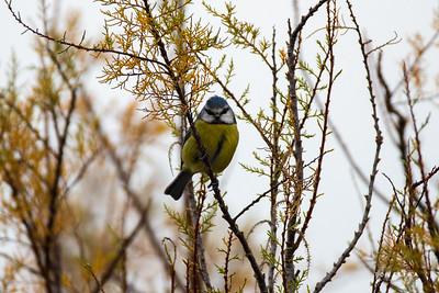 Chapim-azul (Cyanistes caeruleus)