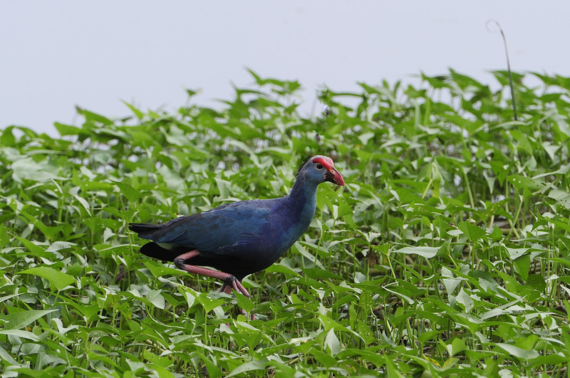 Purple Moorhen - On the way to Thiruchendur.