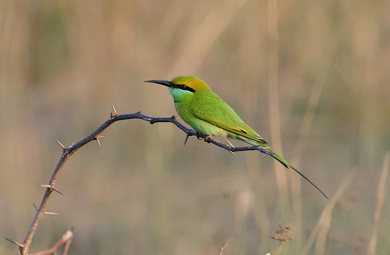 Bee eater - ECR, Chennai India