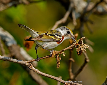 Chestnut-sided Warbler Summer 2015