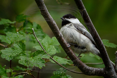 Chickadee with drinks all around.. It would lean over and drink a drop..