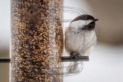 Black-capped Chickadee in the yard, through the kitchen window/screen, PP w LR4 Beta. 19Feb12