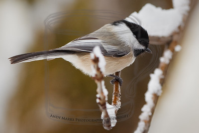 Fidgety Chickadee about to dive for the feeder. 21Nov10