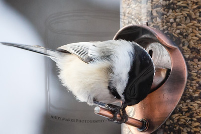 Finally, how it's done. The Chickadee pins a seed under foot then removes the meat.