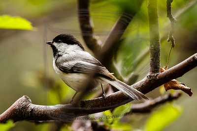Chickadee, 8' away in the apple tree