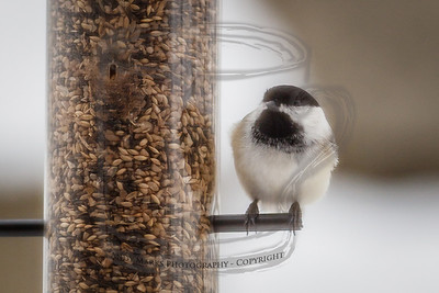 Black-capped Chickadee, shot through a screen and dirty window. PP with LR4 Beta. 19Feb12