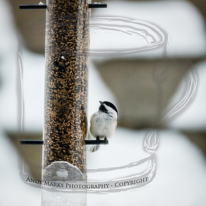 Black-Capped Chickadee, through dining room window/screen, LR4 beta pp. (2nd export group). 19Feb12