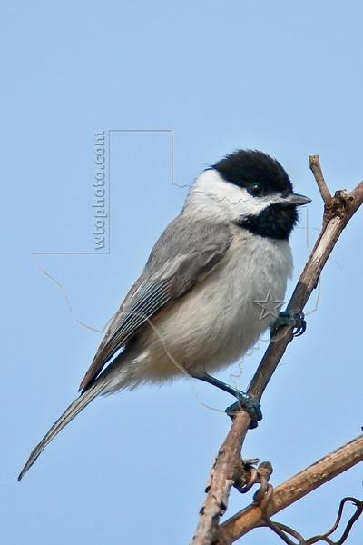 Carolina Chickadee,<br /> Brazos Bend State Park, Texas