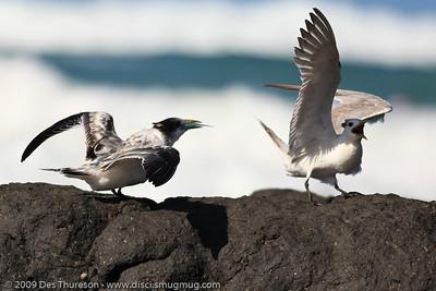 """Gulp. Thanks Mum. Any more?"" - Tern Feeding, Burleigh, Australia, 19 March 2010"