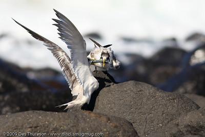 """OK, here it is!"" - Tern Feeding, Burleigh, Australia, 19 March 2010"