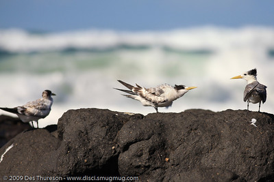 """""""My backside has just told you what I think of all your whining, kid."""" - Tern Feeding, Burleigh, Australia, 19 March 2010"""