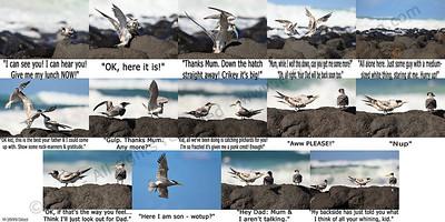 Lame-humoured comic strip - Tern Feeding, Burleigh, Australia, 19 March 2010