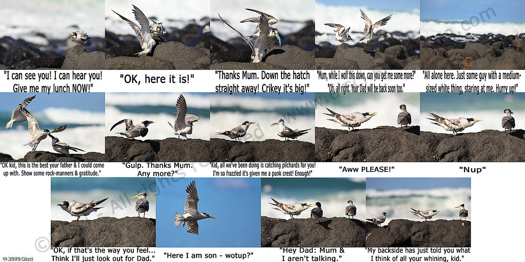 Lame-humoured comic strip - Tern Feeding, Burleigh, Australia, 19 March 2010