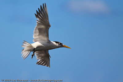 """Here I am son - wotup?"" - Tern Feeding, Burleigh, Australia, 19 March 2010"