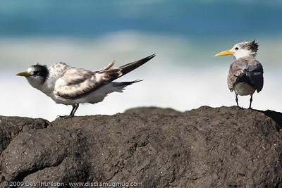 """""""OK, if that's the way you feel.... Think I'll just look out for Dad."""" - Tern Feeding, Burleigh, Australia, 19 March 2010"""