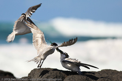 """""""OK kid, this is the best your mother and father  could come up with. Now show some rock-manners & some gratitude."""" - Tern Feeding, Burleigh, Australia, 19 March 2010"""