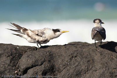 Tern family feeding. Photos by Des Thureson.