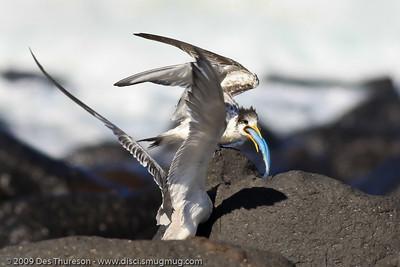 """Thanks Mum. Down the hatch straight away! Crikey it's big!"" - Tern Feeding, Burleigh, Australia, 19 March 2010"