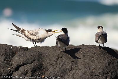 """Hey Dad: Mum and I aren't talking."" - Tern Feeding, Burleigh, Australia, 19 March 2010"