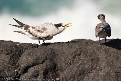 """Aw PLEASE!"" - Tern Feeding, Burleigh, Australia, 19 March 2010"