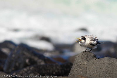 """""""I can see you! I can hear you! Give me my lunch NOW!"""" - Tern Feeding, Burleigh, Australia, 19 March 2010"""