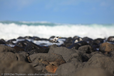 """""""All alone here. Just some guy with a medium-sized white thing staring at me. Hurry up!"""" - Tern Feeding, Burleigh, Australia, 19 March 2010"""