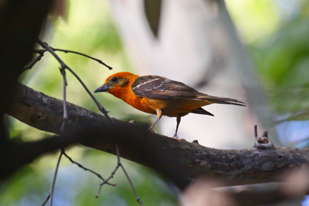 Flame-colored Tanager