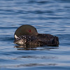 Common Loon resting on a fall day.   Gavia immer (Common Loon)