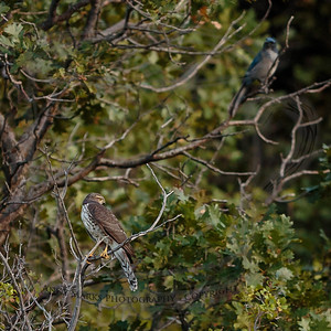 rivals in the game - cooper's hawk and shrub jay