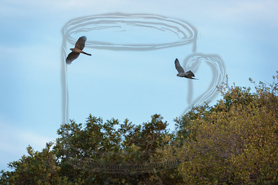 sibling cooper's hawks chasing each other