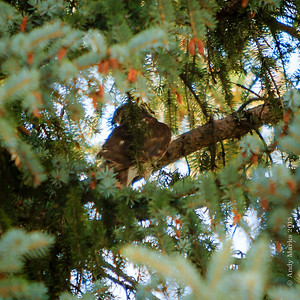 Adult Cooper's Hawk - ready to leave, fearing a 200mm lens more than songbirds