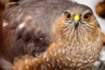 Juvenile Cooper's Hawk, just outside the kitchen (screened) window.
