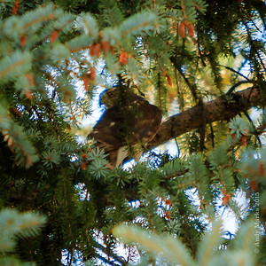 Adult Cooper's Hawk - deep in a blue spruce