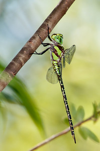Dragon Fly, Regal Darner, Coryphaeschna ingens