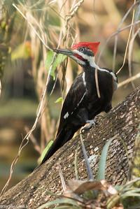 Pileated Woodpecker - Corkscrew Swamp