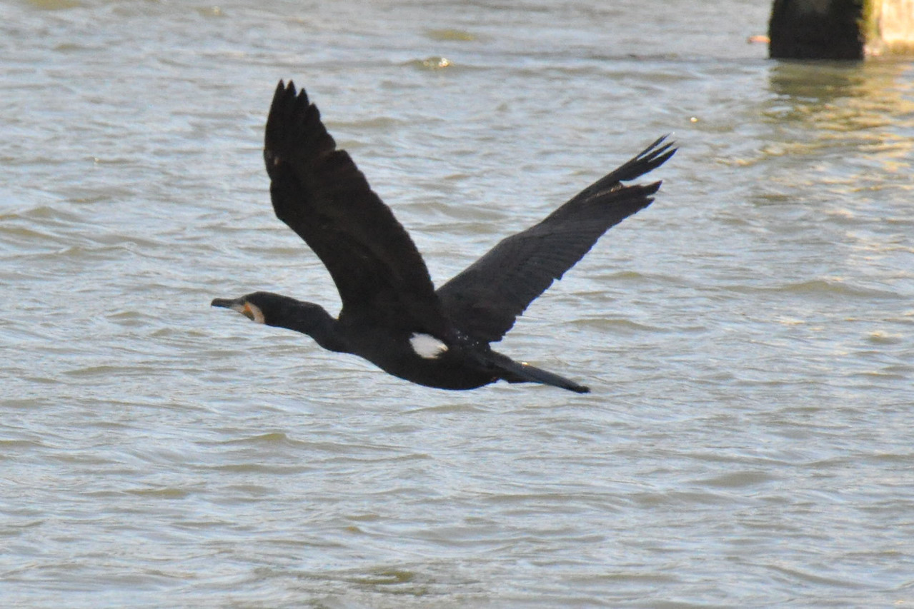 Cormorant Marlow March 2011