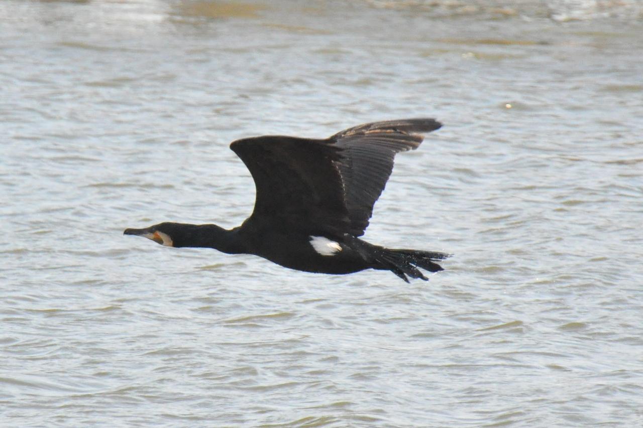 Cormorant in flight Marlow March 2011