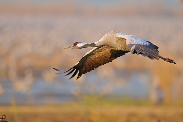 Cranes - עגורים