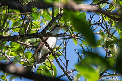 Cuckoos, Roadrunners & Anis